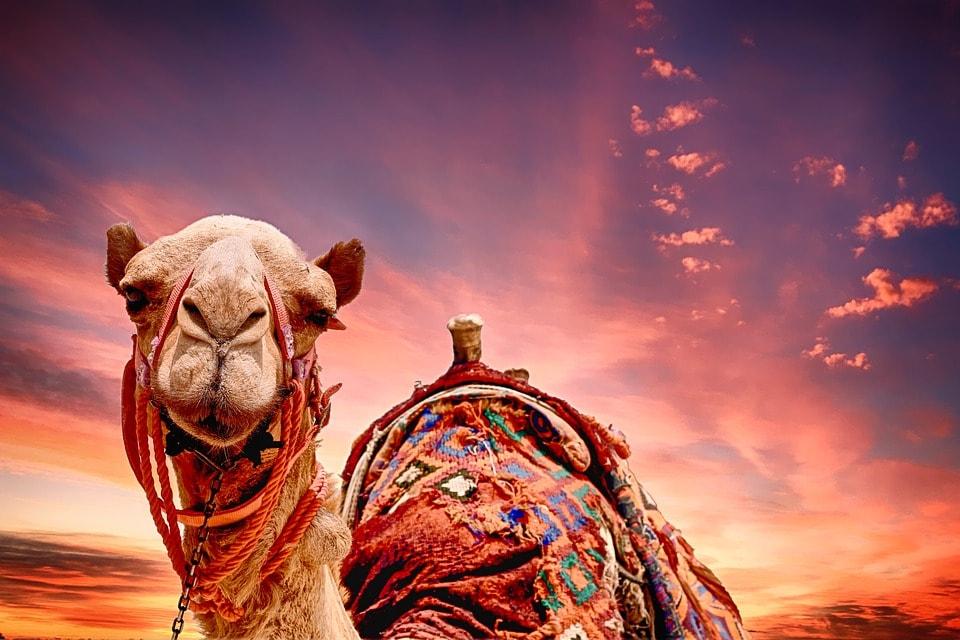 Даже верблюд один раз в год веселится