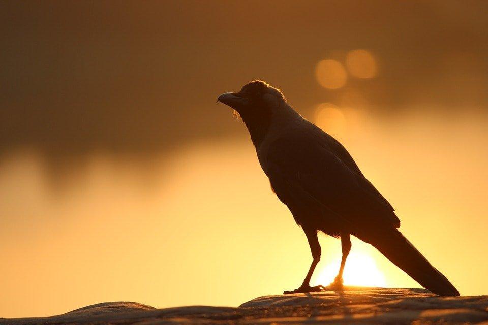 Плохая ворона каркает противно (ингушетская)